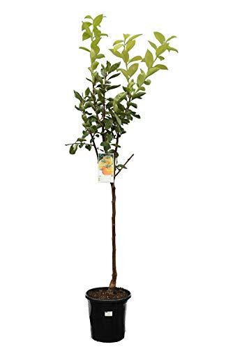 Kaki-Baum - Diospyros kaki - Gesamthöhe 140-160 cm - Stamm 70-90 cm - Topf Ø 28 cm