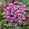2018 Xianv」ピンクのシクラメンの種、5種、プロフェッショナルパック、ガーデンDIYプラントE4122のためにしなければなりません
