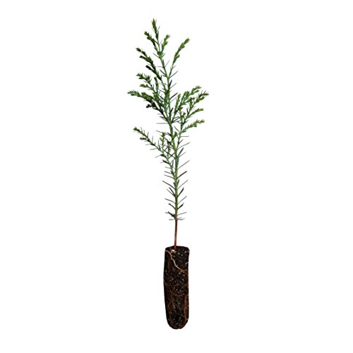 Port Orford Cedar | Live Tree Seedling (Small) | The Jonsteen Company