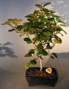 Bonsai Boy's Mistletoe Fig Bonsai Tree ficus diversifolia