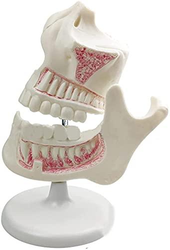 JeeKoudy 123 Modelo de Desarrollo de Dientes Infantiles, Modelo de Secuencia de Desarrollo de mandíbula de dentición, Modelo de enseñanza Dental Dientes caducifolios Diente Permanente Dentistr Oral