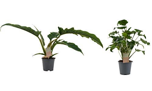Zimmerpflanzen von Botanicly – 2 × Philodendron stenolobum Narrow Escape, Philodendron Xanadu – Höhe: 50 cm