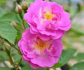Shopvise Meistverkaufte hochwertige lila Kletterrose für Hausgarten 100 Samen/Pack: 6