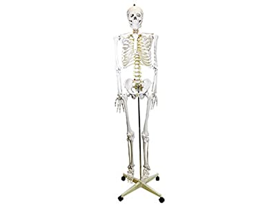 PHYSIQUE Life Size Human Skeleton Model - Human Body Skeleton, Perfect for Anatomy Classes, Realistic and Flexible, 180cm Tall by Physique Management