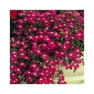 LOBELIA ROSAMOND FINEST FLOWER SEEDS
