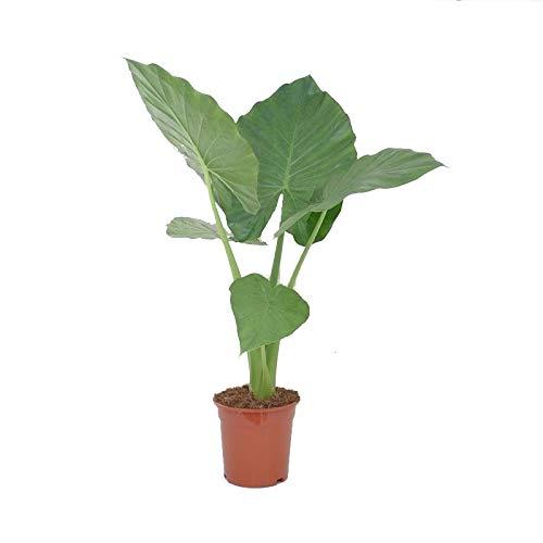 Planta de interior de Botanicly – Oreja de Elefante – Altura: 60 cm – Alocasia Macrorrhiza