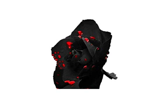 KINGDUO 100 Pcs Noir Rose Graines Roseraie Vert Foncé Bonsai Plantes Vivaces Fleurs Graines-2