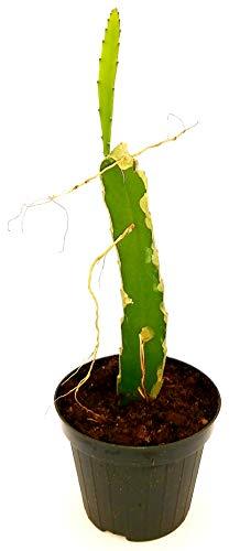 Pitaya Dragofrucht, HYLOCEREUS UNDULATUS, DRAGON FRUIT, echte Pflanze
