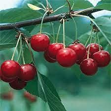 zumari 15 piezas de árbol frutal de cereza agria enana