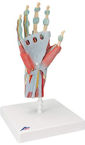3B Scientific menschliche Anatomie - Modell des Handskeletts mit Bändern und Muskeln - 3B Smart Anatomy