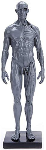 JJDSN Figura Resina Natural Estructura musculoesqueltica Masculina Modelo Maniqu Humano Torso Modelo Pantalla Artesana Herramienta de enseanza para Pintar Escultura Dibujo