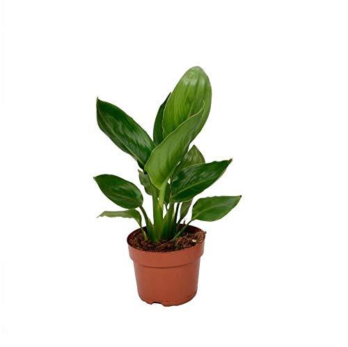 paradijsvogelplant ikea