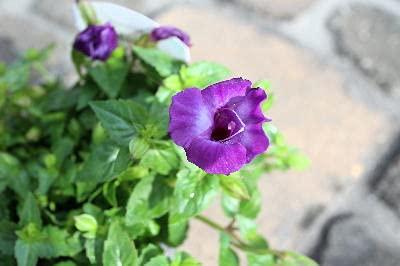 花苗 1年草 栄養系トレニア キャンディ 紫花色 ラベル付き3,5号苗