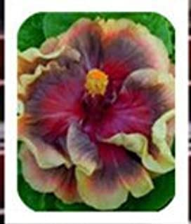 Best hibiscus rosa-sinensis for sale Reviews