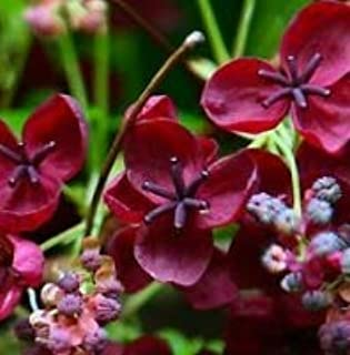 Seeds Chocolate Vine Edible Fruit Akebia Trifoliata Flower Ornamental Climber Seeds Get 15 Seeds #SFB01YN