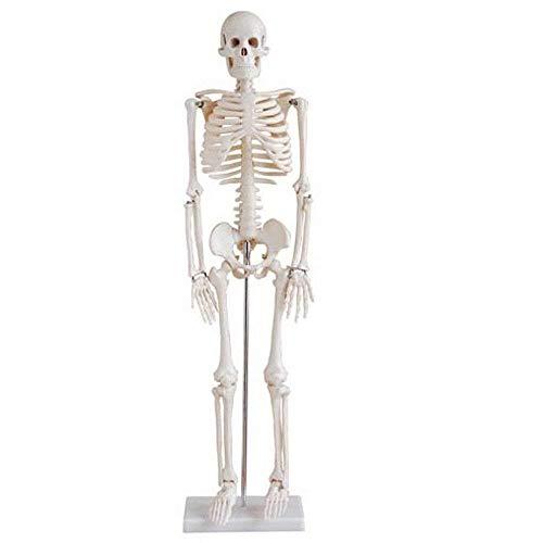 Schädel Skelett Modell für Anatomieunterricht Skelett Modell klein 45cm (Skelett 45cm)
