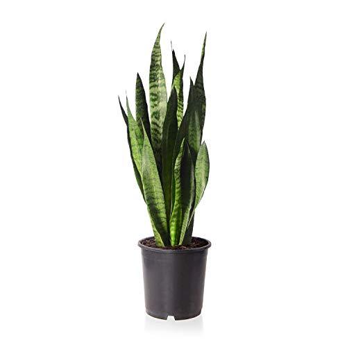 """Sense of Home Zimmerpflanze Bogenhanf\""""Sansevieria zeylanica\""""- trendige & pflegeleichte Indoorpflanze mit großen Blättern - Liefergröße ca. 55 cm"""