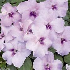 GEOPONICS Xtreme Lavendel-Blumen-Samen-Groß In Krbe, Behlter, Kisten (200 Seeds)