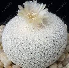 Fash Lady 100 teile/beutel Echte mini kaktus samen, seltene sukkulente mehrjährige kräuter pflanzen, bonsai topf blumensamen, zimmerpflanze für hausgarten 10
