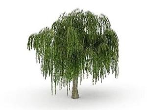Bonsai Dwarf Weeping Willow One Tree Excellent Live Plant Small Indoor/Outdoor