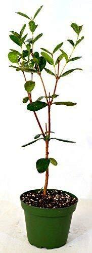 FERRY Bio-Saatgut Nicht nur Pflanzen: Pine Guava Feijoa 4