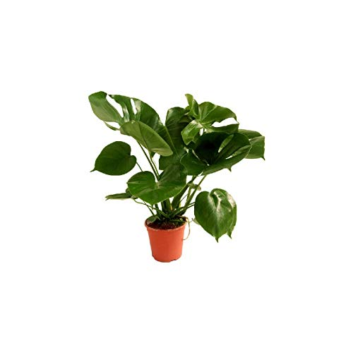 VERDECORA - Planta Natural - Costilla de Adán o Monstera Deliciosa - Maceta 13cm | Altura 40 - 55cm