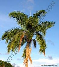 Syagrus romanzoffiana @@ Reine Palmier exotiques rares palmiers tropicaux des semences 5 Graines