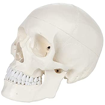 Axis Scientific Human Skull Model Life Size 3-Part Medical Anatomical Skull Replica Includes Skull Cap with External and Interior Structures Detailed Product Manual and 3 Year Warranty