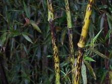 100+ rares tachetés Graines de bambou Phyllostachys Bambusoïdes forma lacrima-deae