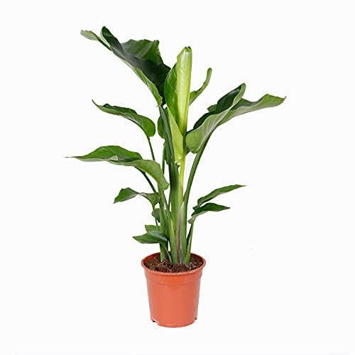 Strelitzia 'Nicolai' pro Stück - Paradiesvogel Pflanze   Zimmerpflanze im Aufzuchttopf cm21 cm - 90-100 cm