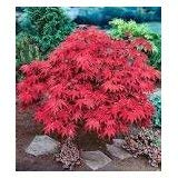 Japanese Red Maple Live Tree