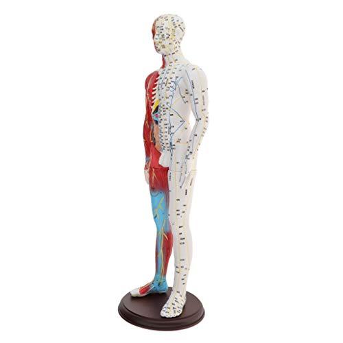 F Fityle 60cm Akupunktur Puppen Akupunktur-Figuren Meridianpuppen Lehrfiguren Körper Modell