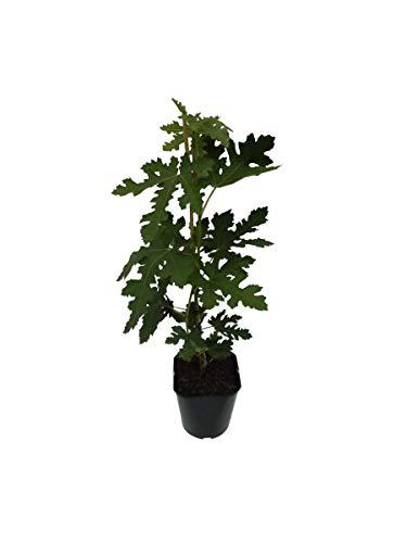 Müllers Grüner Garten Shop Gustissimo® Perretta® Fruchtfeige 40-60 cm große Früchte Feigenbaum Ficus carica 3 Liter Topf