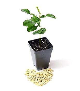 """Kaffir Lime Tree Starter Plant Citrus Hystrix Makrut Lime 4"""" - 6"""""""
