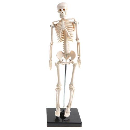 Sharplace 42cm Modelo de Anatomía Esqueleto Humano Removible Herrramienta para Enseñanza Escolar