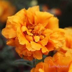 200 pcs Portulaca grandiflora floraison couvre-sol mousse de plantes rose graines de fleurs 200 jaune orange