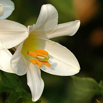 Potseed - Lilium Regale Album Seeds