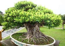 50 Banyan Figuier Graines - Ficus benghalensis - Bonsai USA - Indian BKSeeds