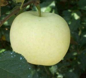 De nouvelles variétés 30pcs Bonsaï blanc Graines bonsaïs de fruits rares tree- plantes d'extérieur pour sementes fruits jardin maison en pot