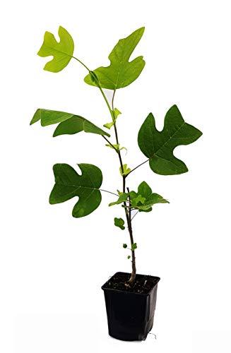 Seedeo® Tulpenbaum Liriodendron tulipifera Pflanze 2,5 Jahre alt