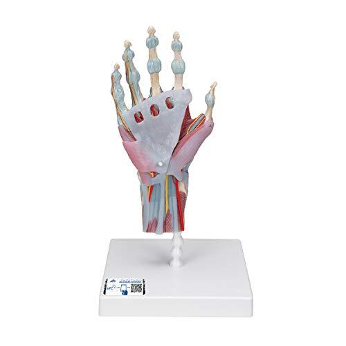 3B Scientific M33/1 Modelo de anatomía humana Modelo del Esqueleto de la Mano Con Ligamentos y Músculos + software de anatomía gratuito - 3B Smart Anatomy