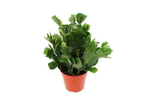 Zygocactus Orange Christmas Cactus - 4'' from California Tropicals