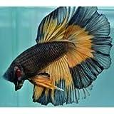 SevenSeaSupply Live Male Mustard Half Moon Betta Tropical Fish