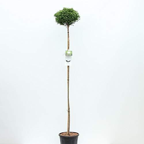 Zwerg Sichteltanne - Cryptomeria japonica Little Champion auf Stamm - Gesamthöhe 200+ cm - 18 Liter Topf - Speditionsversand