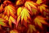 Orange Dream Japanese Maple - Acer palmatum 'Orange Dream' - Stunning Orange and Red New Spring Growth on a Dwarf Japanese Maple - 2 Year Tree