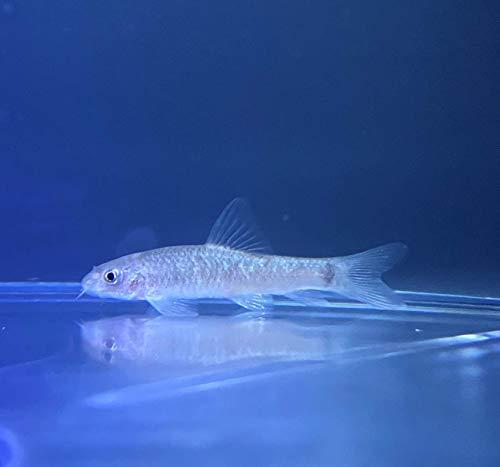 【熱帯魚】ドクターフィッシュ(ガラ・ルファ)Mサイズ 10匹 (東京倉庫出荷)