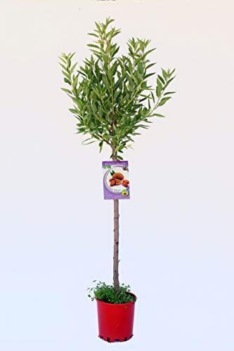 Almendro Guara - Árbol frutal ecológico de 2 años