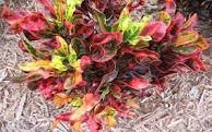 Tropical Favorite Croton Plants Dwarf Corkscrew Mammy Economical Starter Pack