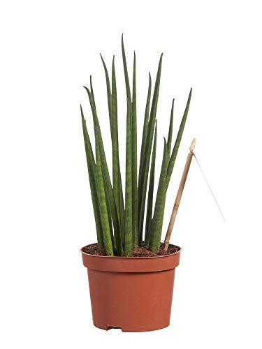 Sanseveria | Langue de belle-mère | Succulente | plante d'intérieur| hauteur 30 cm | Pot 10 cm | Entretien facile