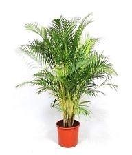 Dypsis Lutescens, Areca Palms Palma de Oro de caña de la planta ornamental Semilla - 25 semillas
